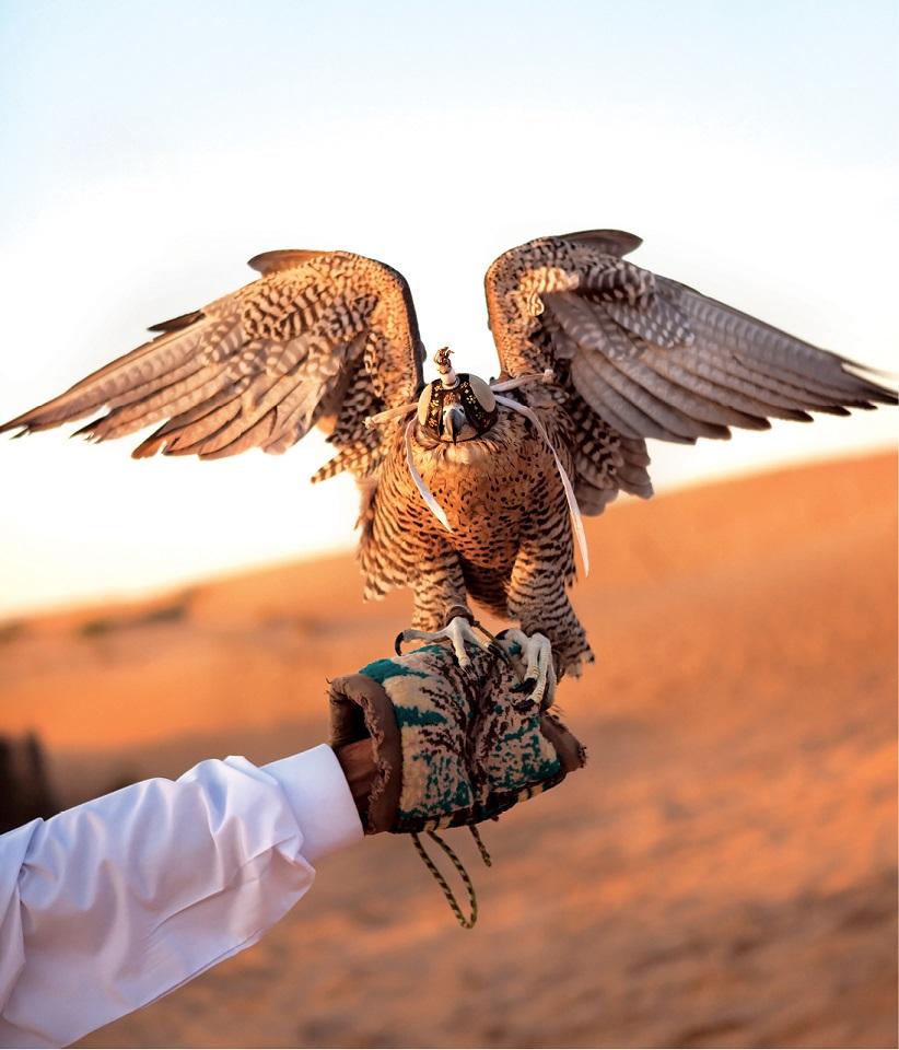 Tradycyjne polowanie z sokołami w Dubaju